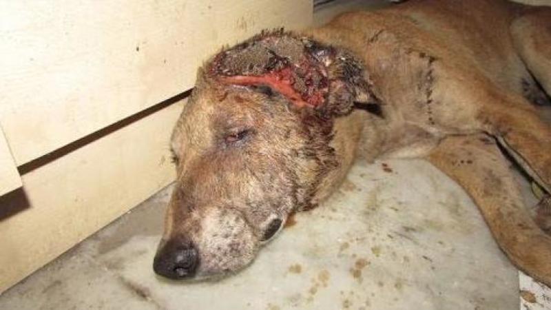 A fost găsit într-un BECI unde îşi aştepta moartea liniştit: Dar ce fac aceşti îngeri pentru micuţul câine suferind... este o adevărată MINUNE! Insănătoşirea lui te va emoţiona până la lacrimi... Minunat