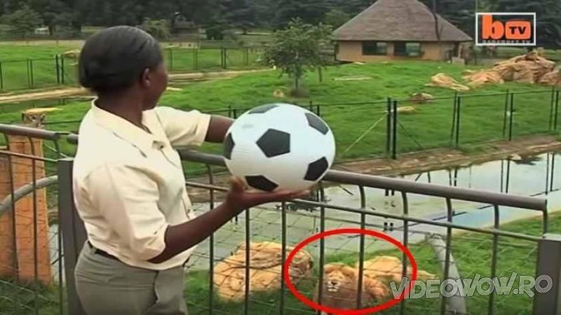 O îngrijitoare de la ZOO ţinea o mingie de fotbal în mână - Când o apleacă peste gard priviţi cine îşi fixează privirea spre ea! Ce reacţie are LEUL atunci când o vede nu îţi va vine să crezi...