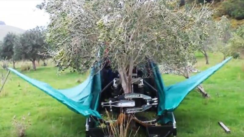 Iată maşinăria care culege un întreg POM de măsline în doar câteva secunde! Ce tehnică simplă şi primitivă foloseşte te va da pe spate!