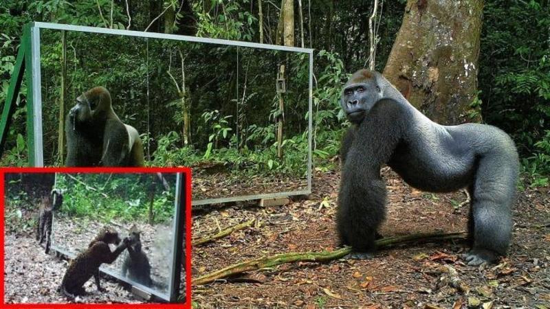 Au montat o OGLINDA în junglă din curiozitate, dar ce reacţie au avut animalele care au descoperit-o este dea dreptul fascinant! Unele chiar au dansat în faţa ei...!?!?!?