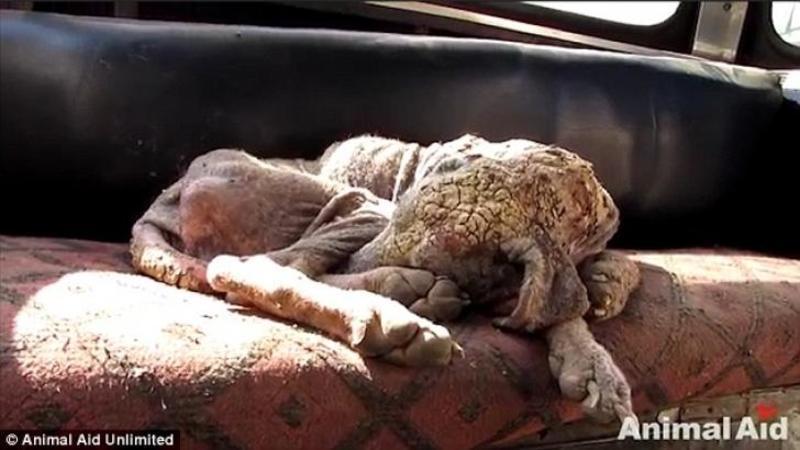 Pielea lui devenise tare ca o PIATRA datorită viermilor si era la un pas de moarte atunci când salvatorii l-au găsit! După doar 6 săptămâni de tratament... faceţi din nou cunoştinţă cu el... EMOTIONANT!