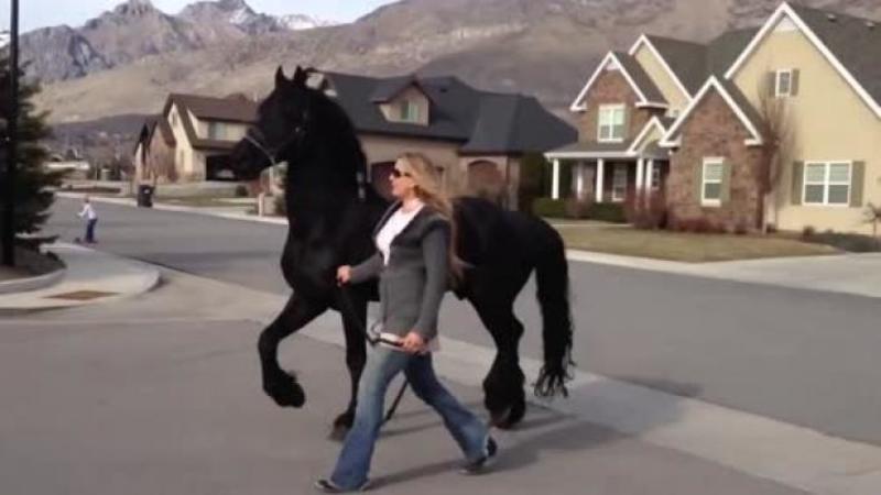 Proprietara şi-a luat superbul CALUT la o plimbare prin cartier ca toţi vecinii să îl admire: Dar fi atent ce face calul ei pentru a atrage atenţia... De necrezut!