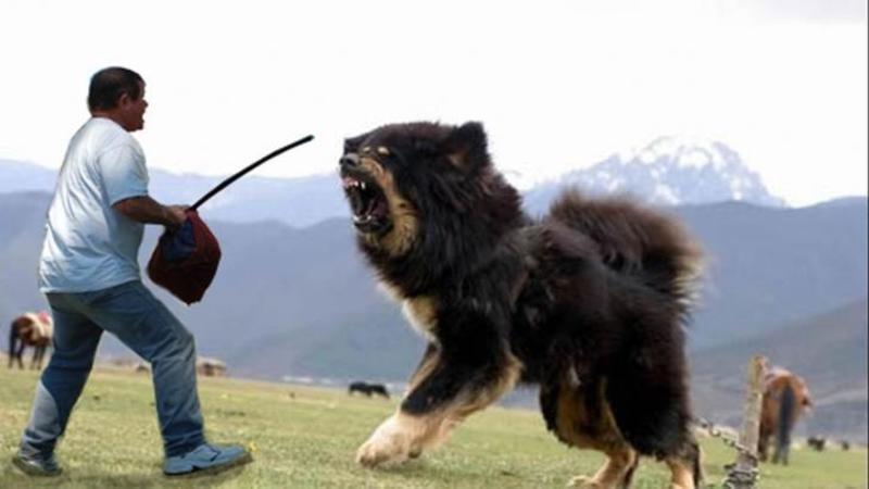 Sunt cei mai MARI, mai AGRESIVI şi mai înfricoşători câini de pază din lume! Nu ai avea CURAJUL să te apropii de ei nici cu o armă în mână... Sunt cu adevărat înspăimântători!!