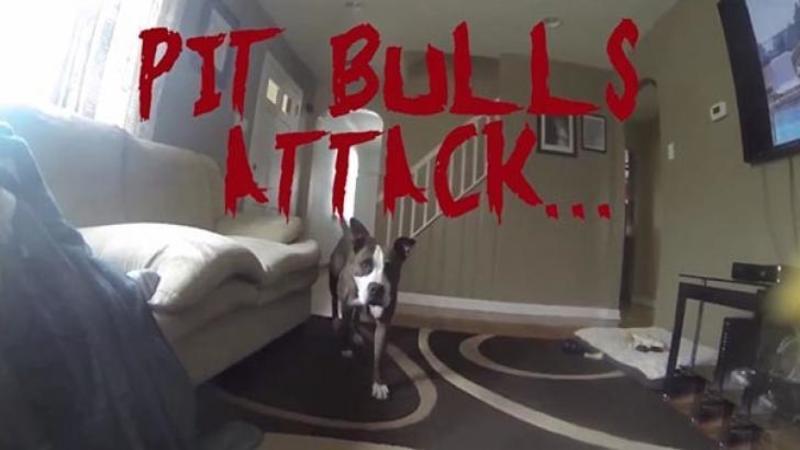 Acest Pitbull FIOROS se pregăteşte să îşi atace stăpânul pe nepregătite... şi când face lucrul ăsta... nu pot să cred ce văd în faţa ochilor...