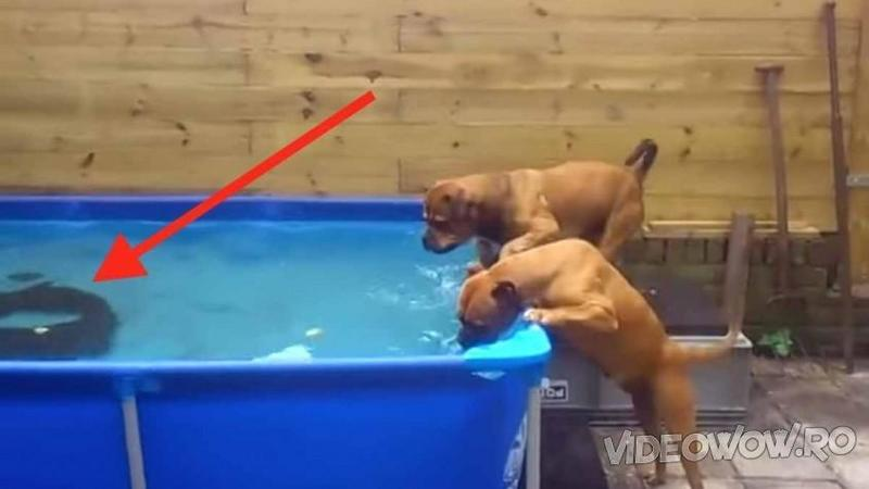2 Pitbuli se uitau amăgiţi spre fundul piscinei la un OBIECT straniu: Dar fi atent ce se întâmplă după câteva secunde de gândire... o muncă în echipă fantastică! Merită recompensaţi pe deplin pentru curajul şi ambiţia lor