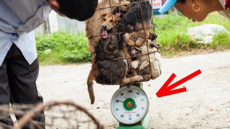 Câini vânduţi la kilogram, măcelariţi şi mâncaţi! Iată oripilantul festival Chinez în care câinii sunt omorâţi pentru carne! Un adevărat MASACRU - Infiorător aşa ceva