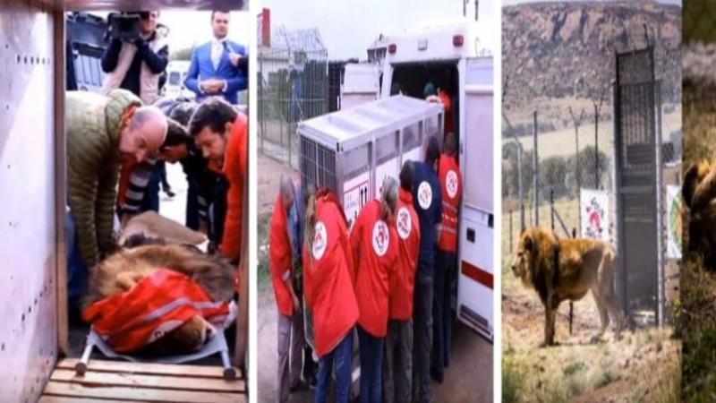 Au găsit 4 LEI abandonaţi şi aproape morţi într-o grădină zoologică din Romania şi i-au transportat 9700 de km pentru a le da o nouă viaţă şi un nou început! Iată povestea incredibilă a unor animale care de luni de zile trăiau între 4 ziduri reci fără mâncare şi apă!