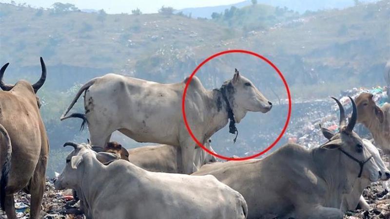 Au zărit printre munţii de GUNOAIE o văcuţă cu o sfoară de gât: Ce au găsit când s-au apropiat de bietul animal... înfiorător!