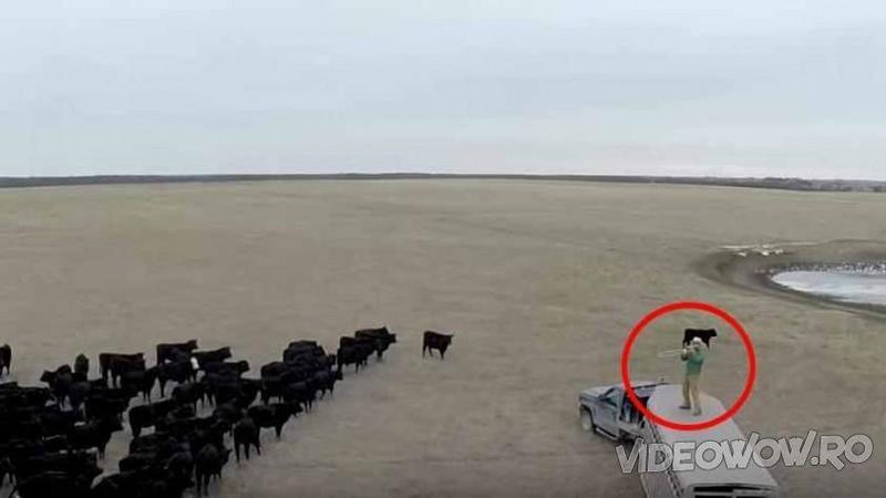 Un văcar stă cocoţat pe maşina lui în mijlocul câmpului cu un INSTRUMENT ciudat în mână! Când începe şi cântă la el nu îţi va vine să crezi cât de uşor şi rapid îşi strânge acest fermier VACUTELE de pe câmp... Uluitor