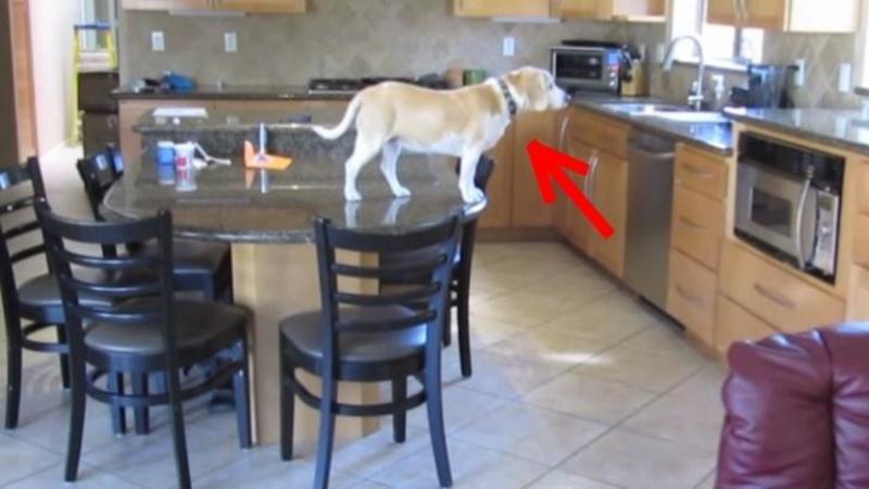 Este un adevărat MAESTRU al spargerilor de frigidere şi cuptoare cu microunde: Habar nu ai cât de inteligent este acest câine, când ai să îl vezi în acţiune... este mai tare ca James Bond!