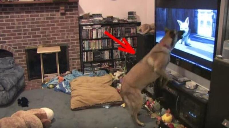 Când stăpânul îi pune acestui câine filmul lui favorit nu mi-a venit să cred ce face în faţa TELEVIZORULUI... este incredibilă reacţia lui!