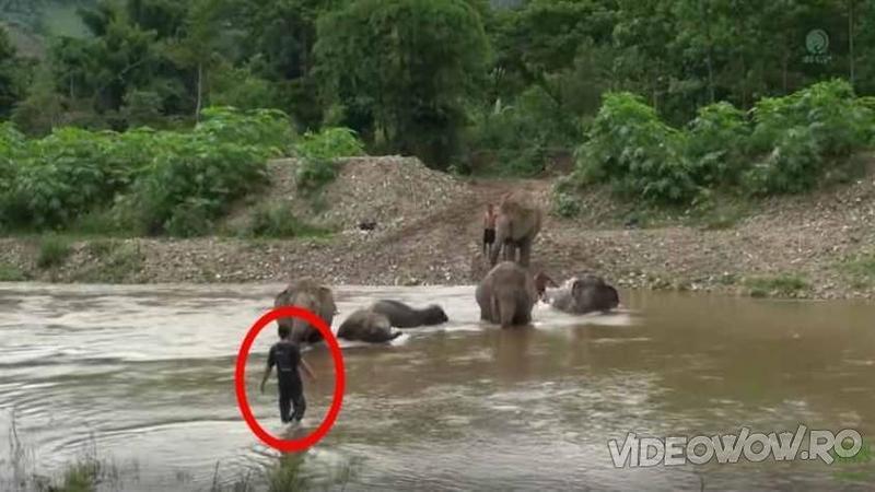Se apropie de un grup de ELEFANTI fără nici un pic de frică, iar când totul părea a fi o scenă periculoasă... iată ce se întâmplă defapt în râul învolburat... WOW